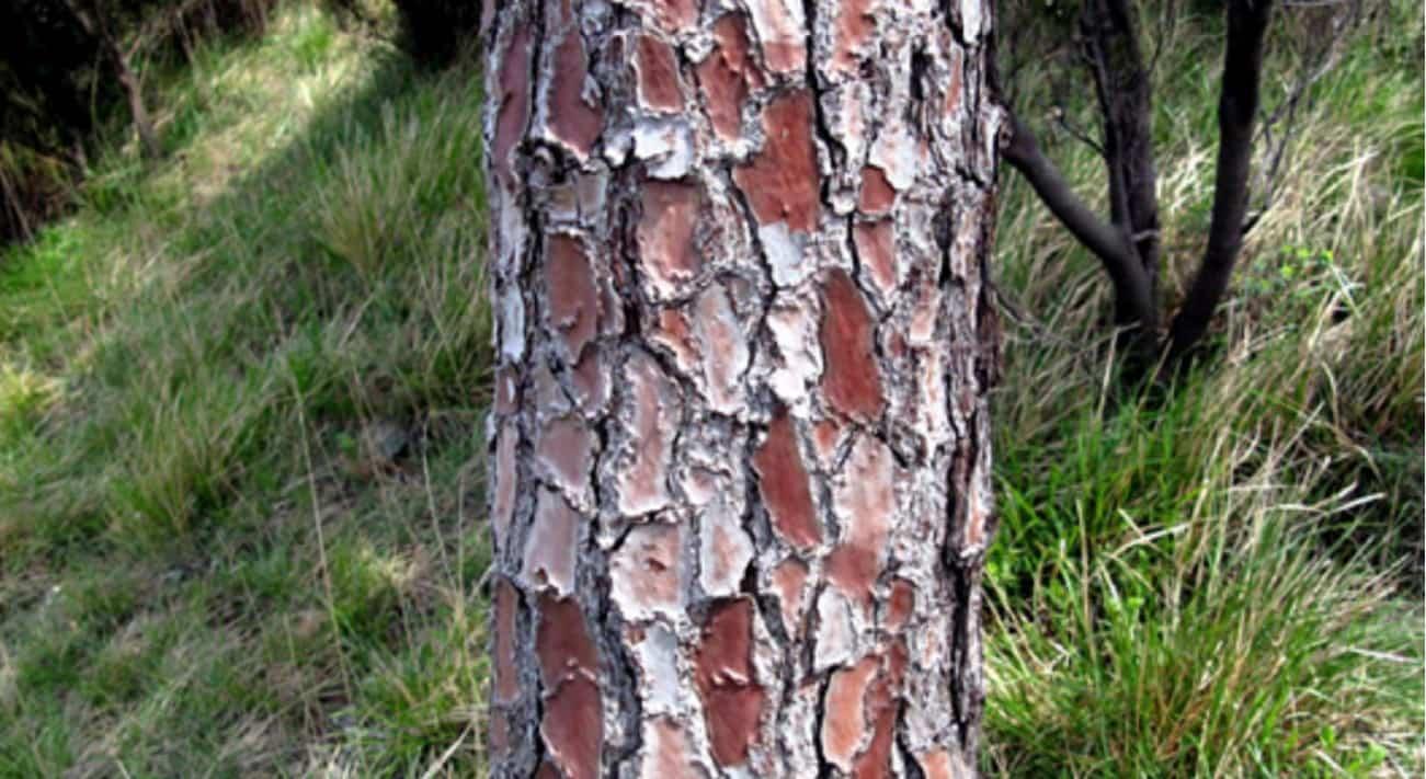 Pycnogenol corteccia di pino marittimo