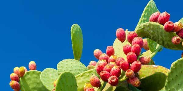 Fichi d'india: potente rimedio naturale contro il diabete