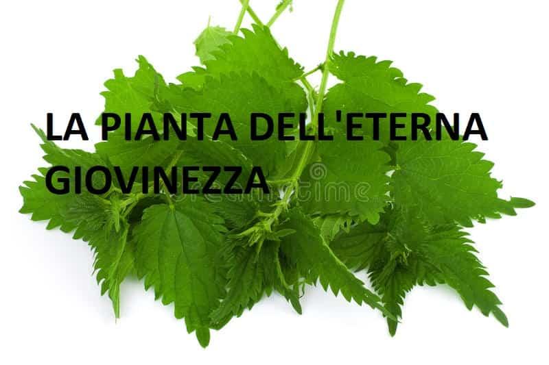 ortica verde la pianta dell' eterna giovinezza