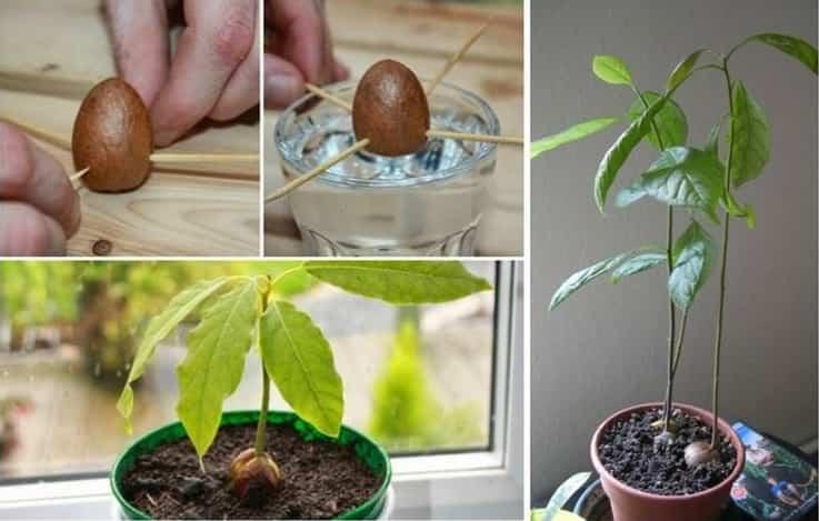 Coltivare l' avocado in casa. Ecco tutti i passaggi