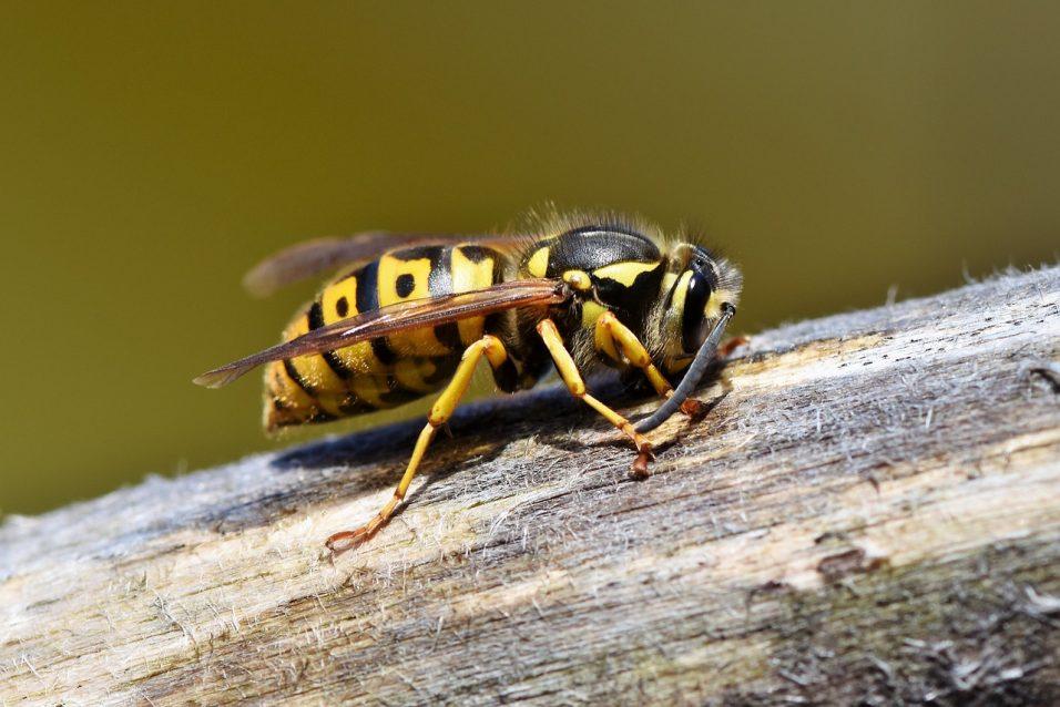 Non tutti i veleni finiscono per nuocere. Il veleno d'api fa bene alla pelle e non solo. I benefici e come si produce
