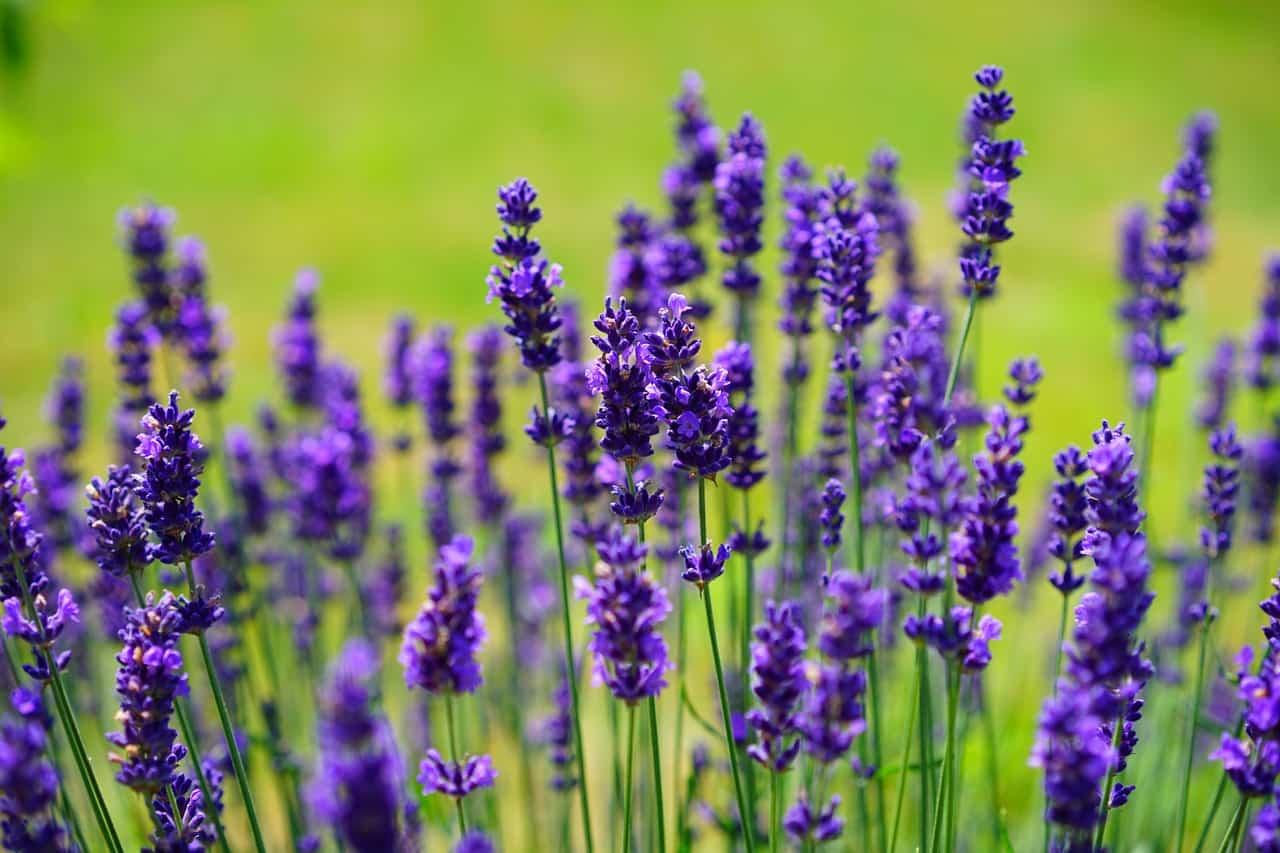 Lavanda: la pianta dalle enormi proprietà cosmetiche e dai tanti benefici