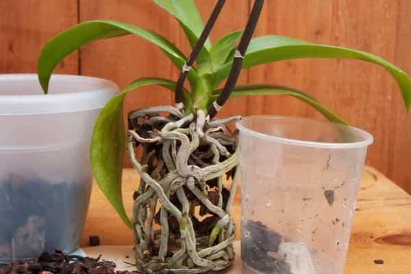 rinvasare trapiantare le orchidee