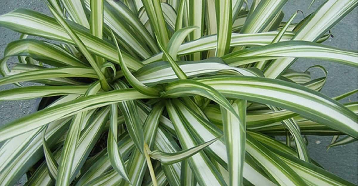 Falangio: la pianta ragno che depura l'aria in casa