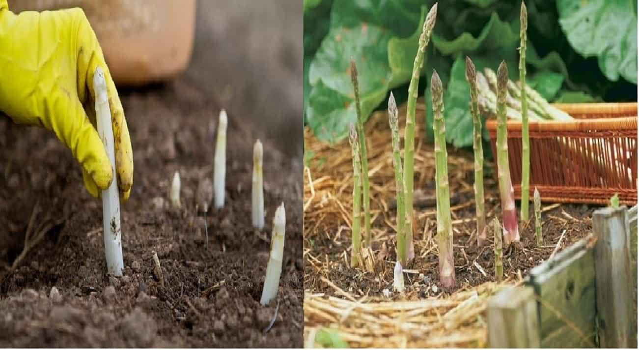 Coltivare asparagi in casa in vaso