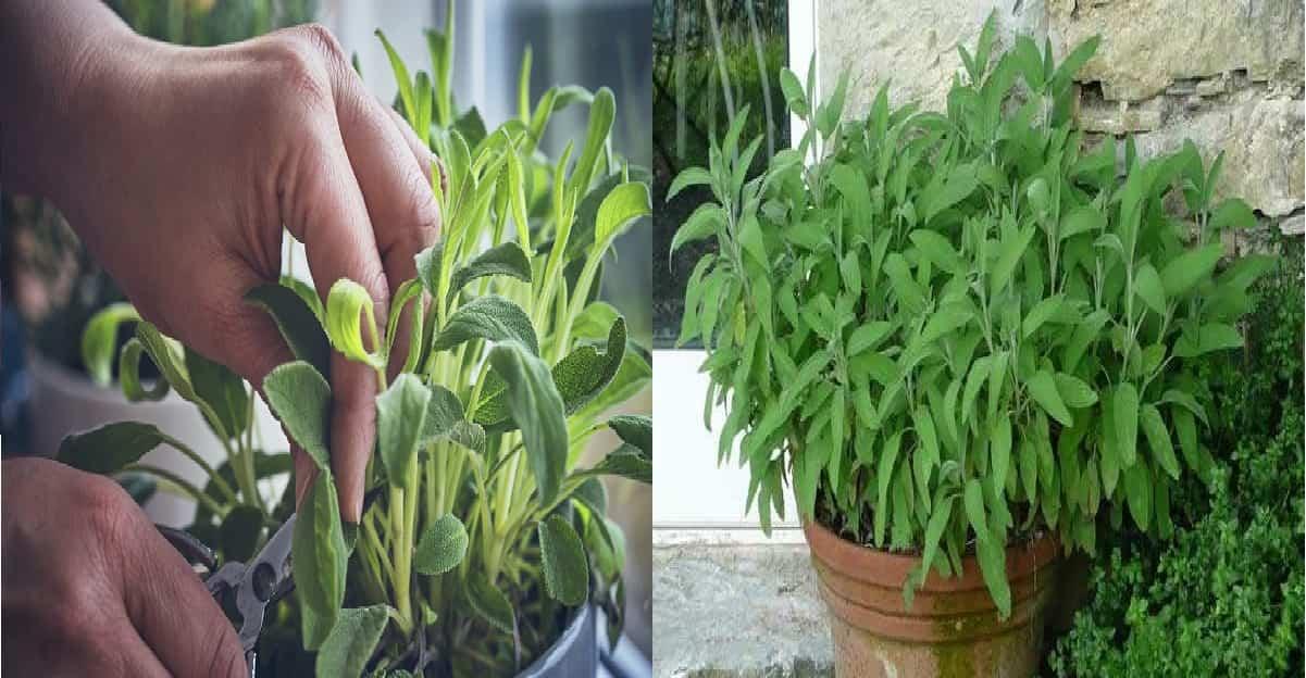 Come coltivare la salvia in casa o in un vaso sul balcone