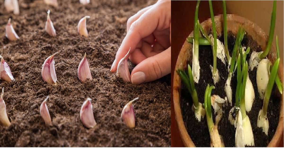 coltivare aglio in vaso