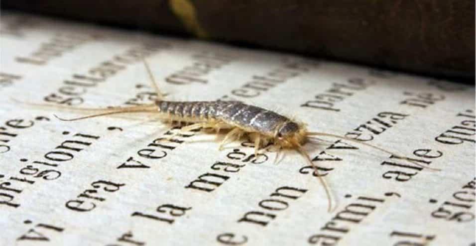 insetti bianchi in casa pesciolini d'argento