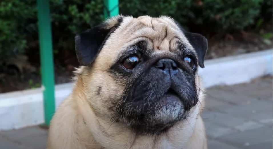 Carlino, la razza di cane più affettuosa
